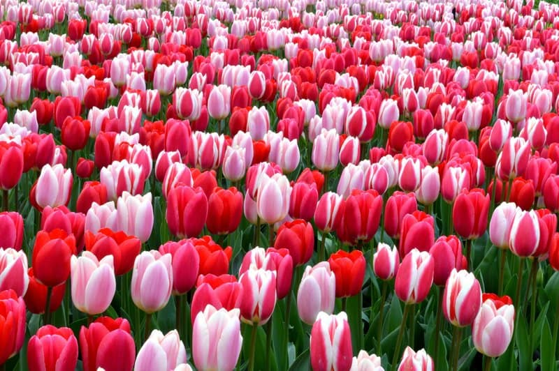 the most beautiful flowers in the world pictures
